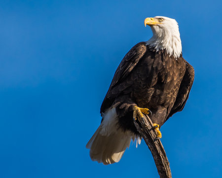 Single bald eagle on a branch