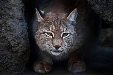 Lynx is a big wild cat ironically looking, dark background Wall mural