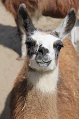 portrait of a lama