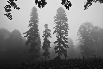three spruce trees. in the fog. Misty forest in the legendary ancient Greek Colchis, Caucasus,