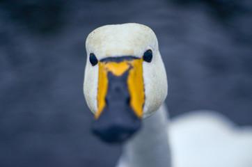 アイスランド 白鳥