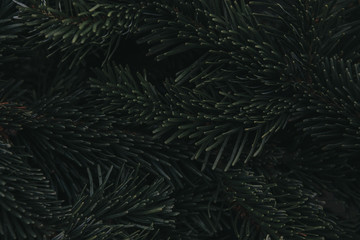 precious pacific noble silver fir branches as background for christmas