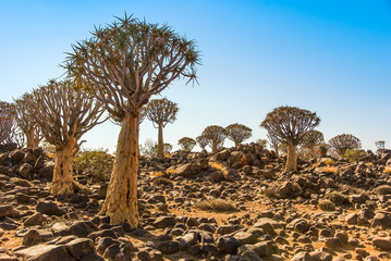 Quiver Tree Forest (Aloe Aloidendron dichotoma) or kokerboom or Köcherbaumwald near Keetmanshoop in Namibia, Africa