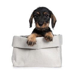 Sweet black and brown wirehaired dashound puppy sitting front view in grey paper bag, paws on edge looking straight ahead at camera with big dark eyes. Isolated on white background.