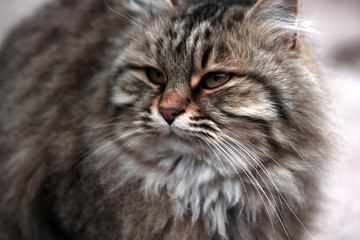 fat and beautiful cat