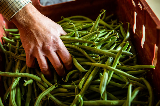 High angle close up of farmer holding bunch of fresh green beans.