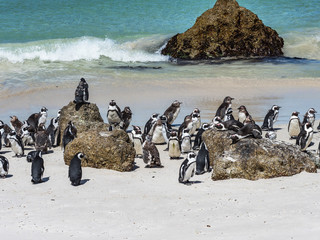 Colony of African penguins on a sunny beach in Simons Town, Cape Town, Africa