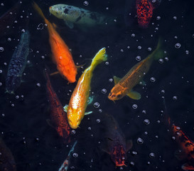 koi fish in a pond with dark water