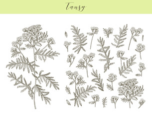 Vector tansy herb.