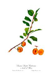 Apricot Botanical Vintage art poster