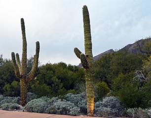 Two saguaro cacti decorated with christmas lights