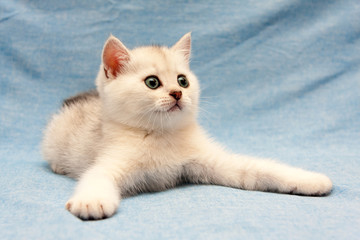 White British kitten lying on a blue background with wide front legs and staring to the right