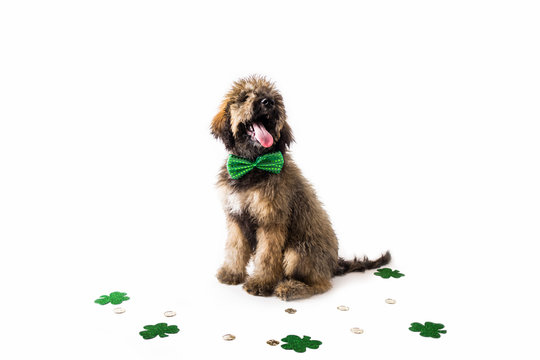 Golden Doodle Puppy wearing St. Patricks Day Costume