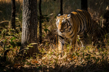 A sub-adult female tiger on a territory marking in a winter morning at Bandhavgarh Tiger Reserve, India