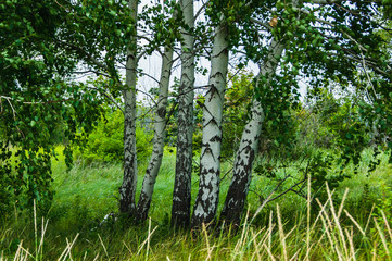 Birch standing in the field. Landscape of the Russian countryside.