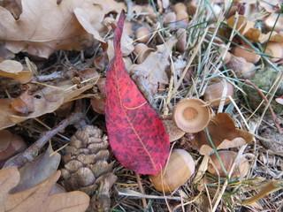 red leaf between brown leaves