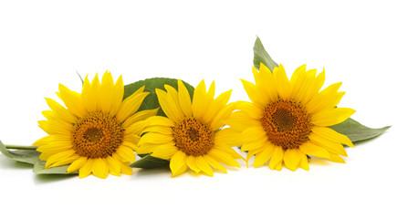 Three yellow sunflowers.
