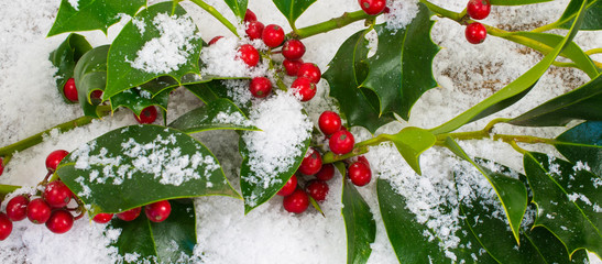 Holly branches in the snow. Christmas background banner.