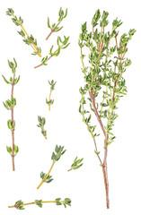 Fototapeta Fresh thyme spice isolated on white background.  Italian spices on a white background. Food concept. obraz