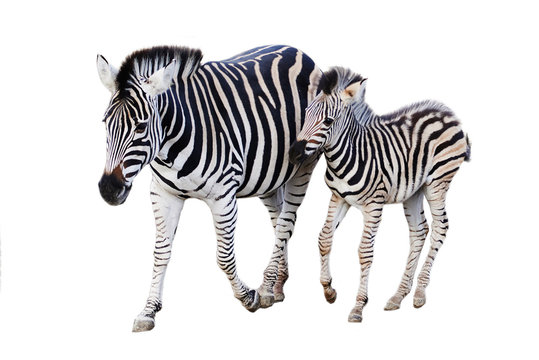 Mother and child zebra isolated on white background