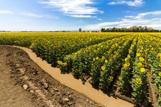 Sunflower field rows being irrigated by water-filled canal against blue sky with white clouds