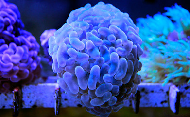 Euphyllia LPS coral isolated image