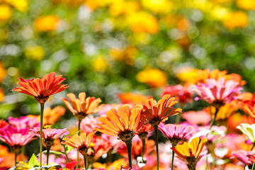Beautiful Wide Angle flower background. Panoramic floral wallpaper with pink chrysanthemum flowers close up