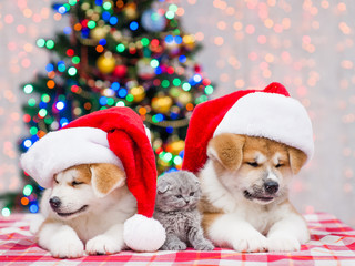 Two Akita inu puppies in red santa hats and tiny kitten with  Christmas tree on a background