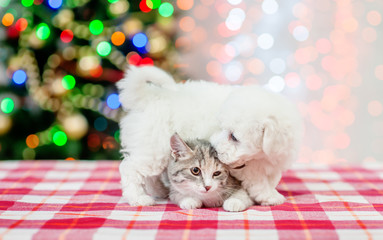 playful bichon frise puppy licking cat with  Christmas tree on a background