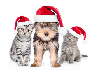 Two kittens and puppy in red christmas hats together. isolated on white background