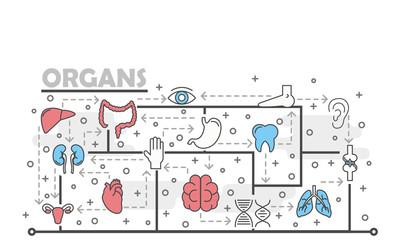Vector thin line art human organs poster banner template