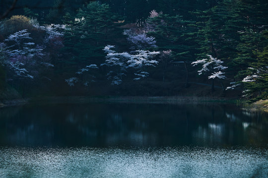 沼のほとりに咲く桜