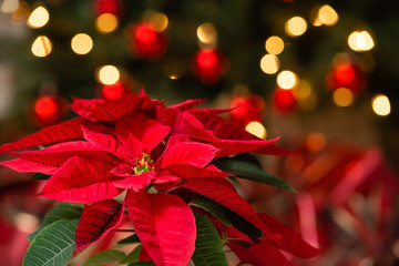 Beautiful red Poinsettia (Euphorbia pulcherrima), Christmas Star flower. Festive red and golden holiday bokeh background. Wall mural