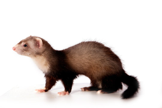 Furet Photos Royalty Free Images Graphics Vectors Videos Adobe Stock