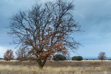 Paisaje natural en otoño con roble melojo en primer plano, pradera y encinas. Quercus pyrenaica. Quercus ilex.