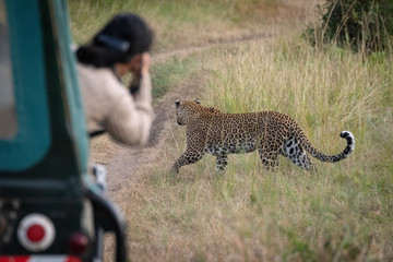 Photographer takes picture of leopard walking past