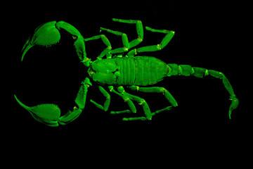 Emperor scorpion under UV light.