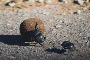 Dung Beetles on Elephant Poop