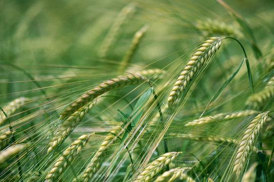 Barley grain is used for flour, barley bread, barley beer, some whiskeys, some vodkas, and animal fodder. Vertical orientation