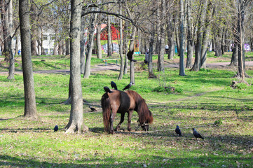 Beautiful pony with funny herd. Pony rides. Pony horse  on the farm pasture on a sunny day with...