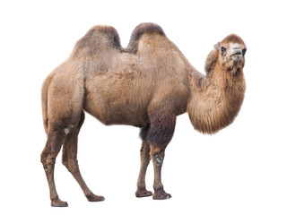 Bactrian camel (Camelus bactrianus), isolated on White background