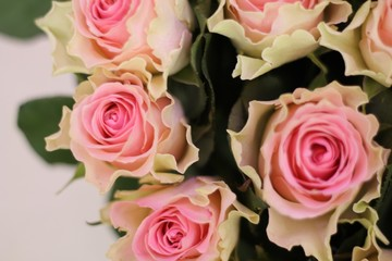 Pink and white roses. Beautiful macro close-up rose bouquet from Holland auction Alsmeer.