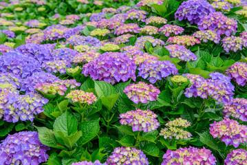 multicolor hortensia ( hydrangea ) flowers   in the garden, close up.