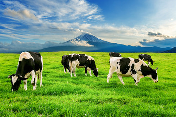 Printed kitchen splashbacks Cow Cows eating lush grass on the green field in front of Fuji mountain, Japan.