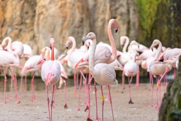 Group of pink flamingos, Phoenicopterus roseus, walking.