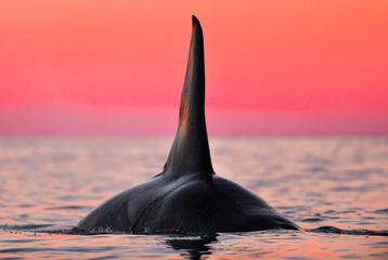 Huge orca dorsal fin