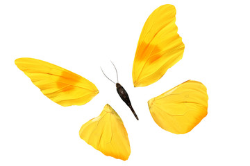 natural yellow butterfly disassembled into parts. isolated on white background