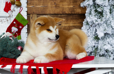 akita inu puppy on a new year background