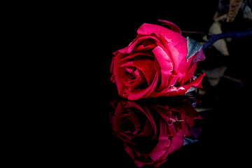 The red pink dried rose on isolated black background with reflection.