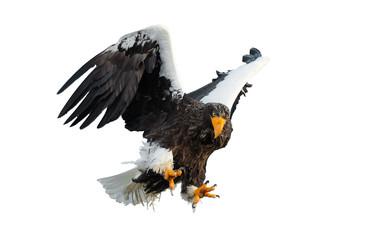 Adult Steller's sea eaglein flight spread his wings.  Scientific name: Haliaeetus pelagicus. Isolated on white background.